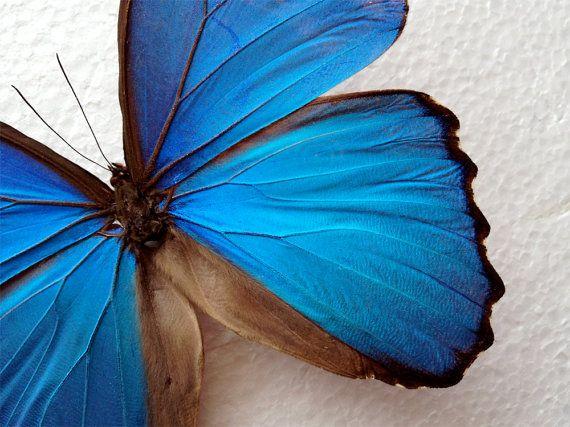 Real Blue Morpho Butterfly Framed In Black By BentheButterflyGuy, $49.99