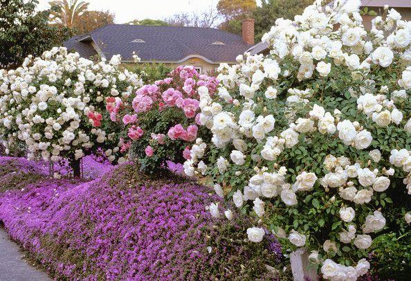 Keywords Pink Climbing Rose Garden Rosa Bonica Rosa Baby