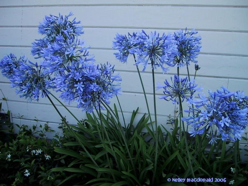 Lily Of The Nile African Lily Agapanthus Africanus Tropicals And Tender Perennials Full Sun Danger H Agapanthus Africanus Evergreen Landscape African Lily