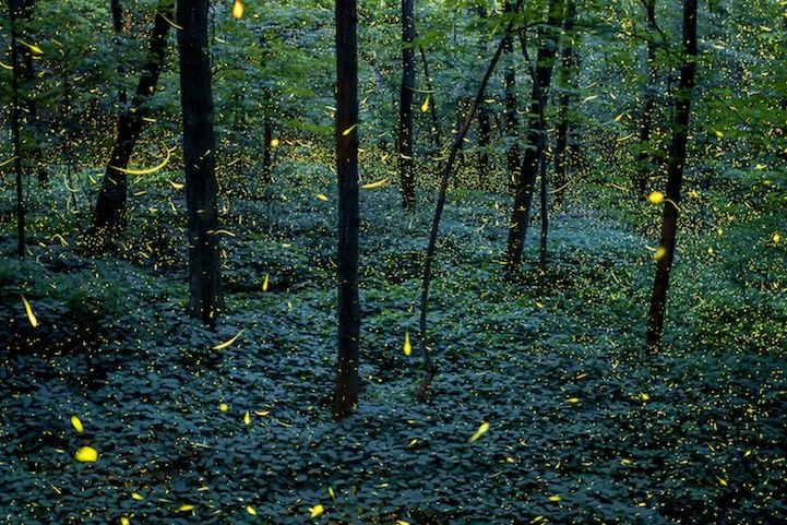 Beautiful Long Exposures of Firefly Trails by Vincent Brady
