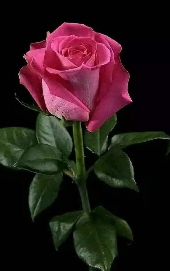 خلفيات ورود جميلة جدا 2019 اجمل صور ورد في العالم 2020 فوتوجرافر Beautiful Rose Flowers Hybrid Tea Roses Beautiful Roses