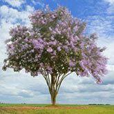 Twilight Crape Myrtle Fast Growing Trees Growing Tree Myrtle Tree