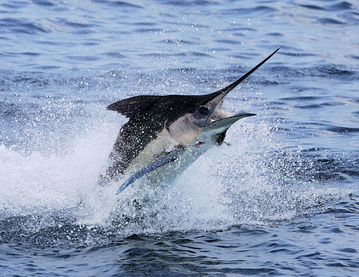 marlin jumping Google Search Fishing Tattoo