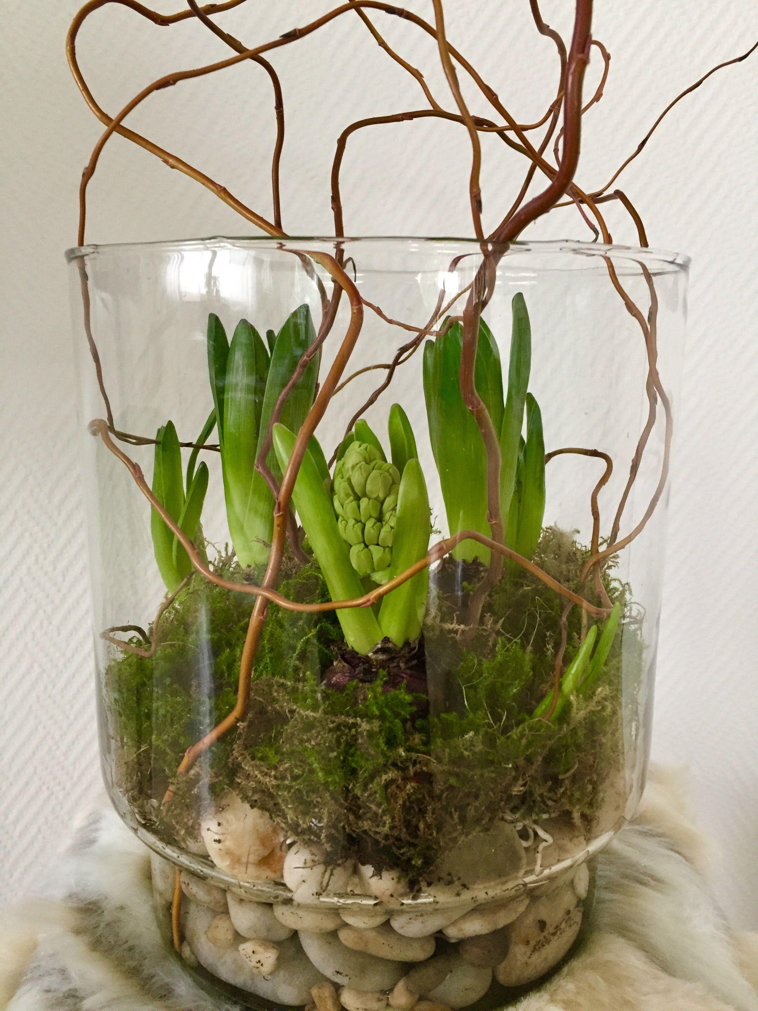 Hyazinthen im Glas | Frhlingsdeko | Pinterest | Hyazinthe ...