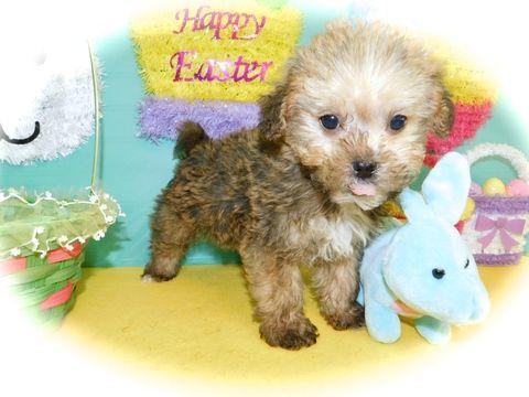 YorkiePooYorkiepoo Mix puppy for sale in HAMMOND, IN