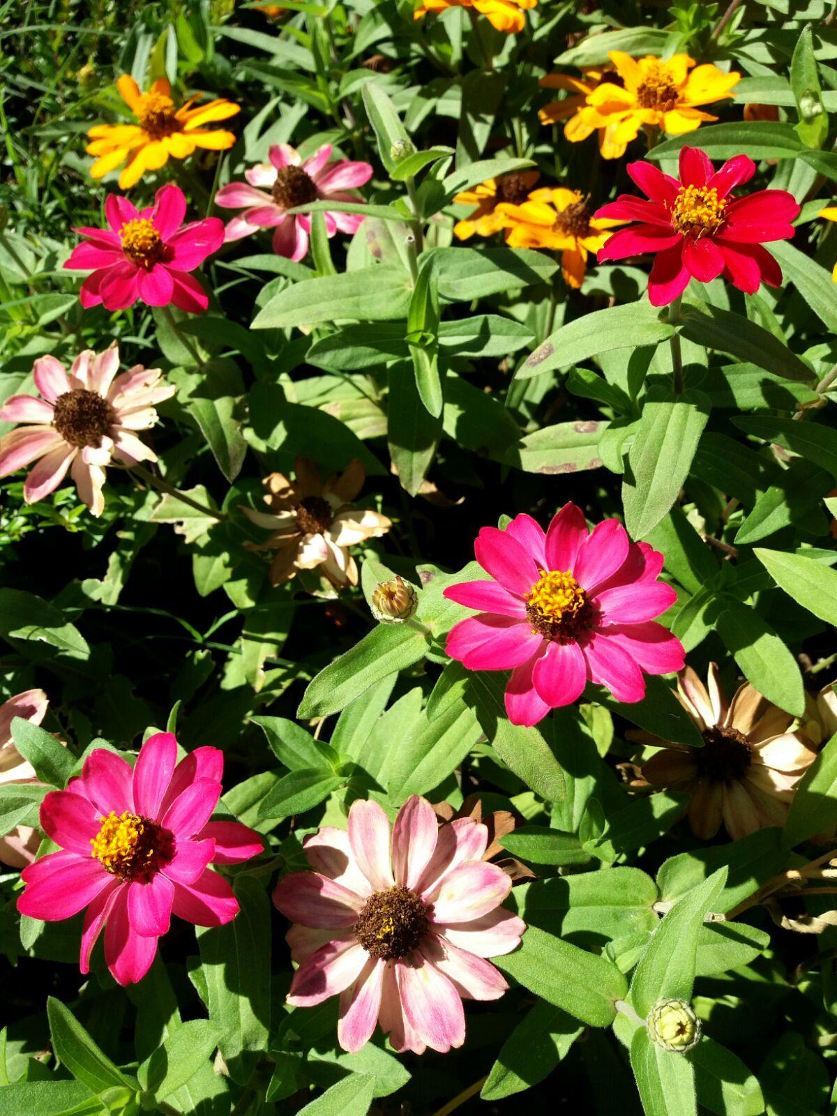 Macizos De Zinias Con Sus Flores De Colores Variados Rojo Amarillo Verde Fucsia Florecen Desde Finales De Verano Hasta B Flores Florecer Losas Macizas