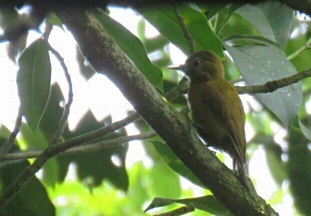 Bird Photos, Birding Sites, Bird Information: FEMALE SMOKEY-BROWN WOODPECKER, MYSTICO HANGING BR...