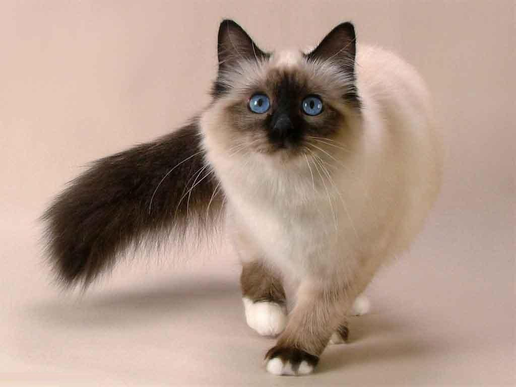 Balinese Cats Are Smart Sweet And Fun To Be Around Like The Siamese They Are Known For Their Ability To Commun Siamese Cats Facts Balinese Cat Snowshoe Cat