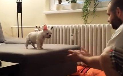 Daily Cute Rocky The French Bulldog Jumps Into His Owner S Arms