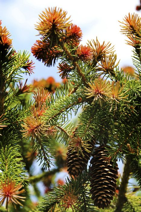 The red-tipped Norway spruce has gorgeous spring color. New growth appears bright red, then darkens over time to forest green.