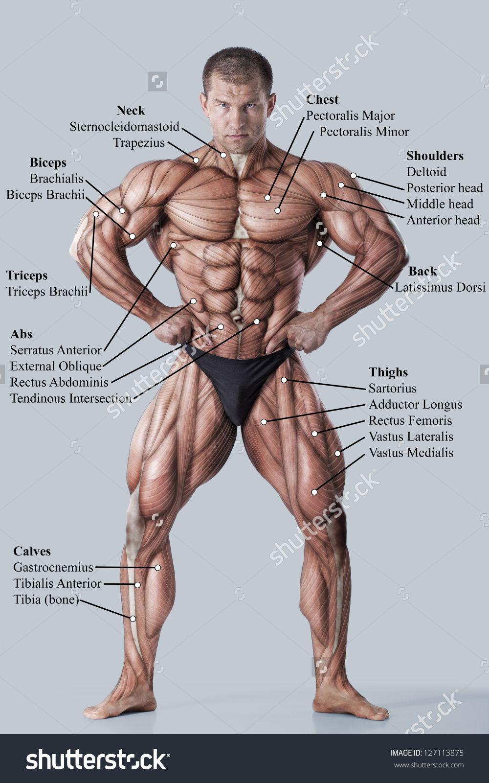 Muscle Chart Male Human Anatomy Study Muscle Names Muscle
