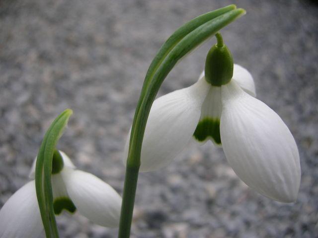 Galanthus Bertram Anderson Bulbous Plants Plants Elegant Flowers