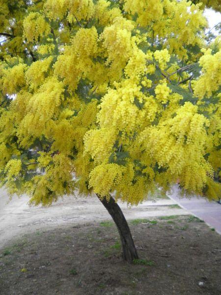 Acacia baileyana or acacia fimbriata or acacia macradenia for Arboles de jardin de crecimiento rapido