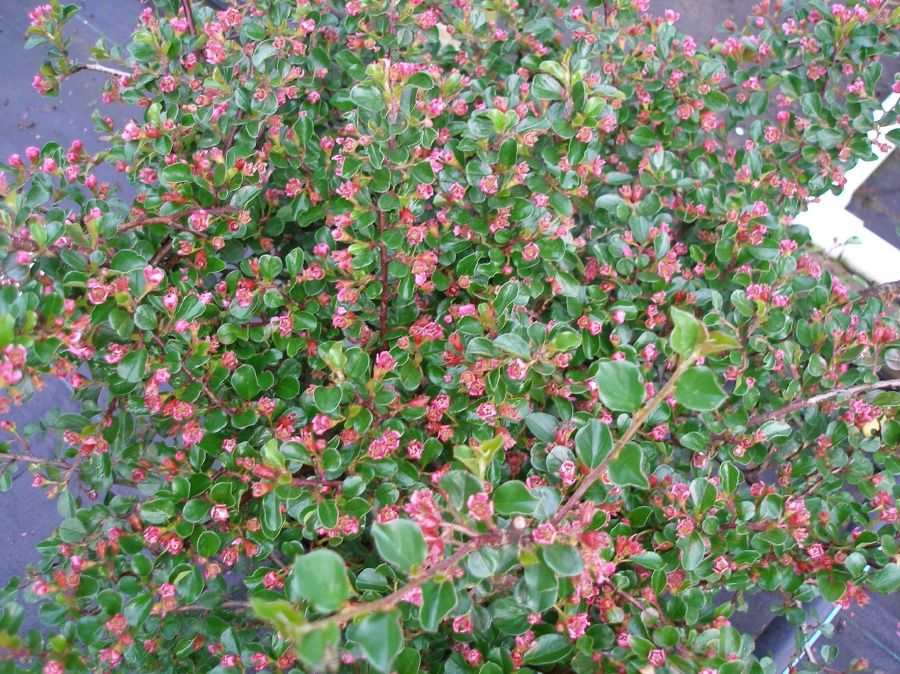 Cranberry Cotoneaster Cotoneaster Shrubs Plants