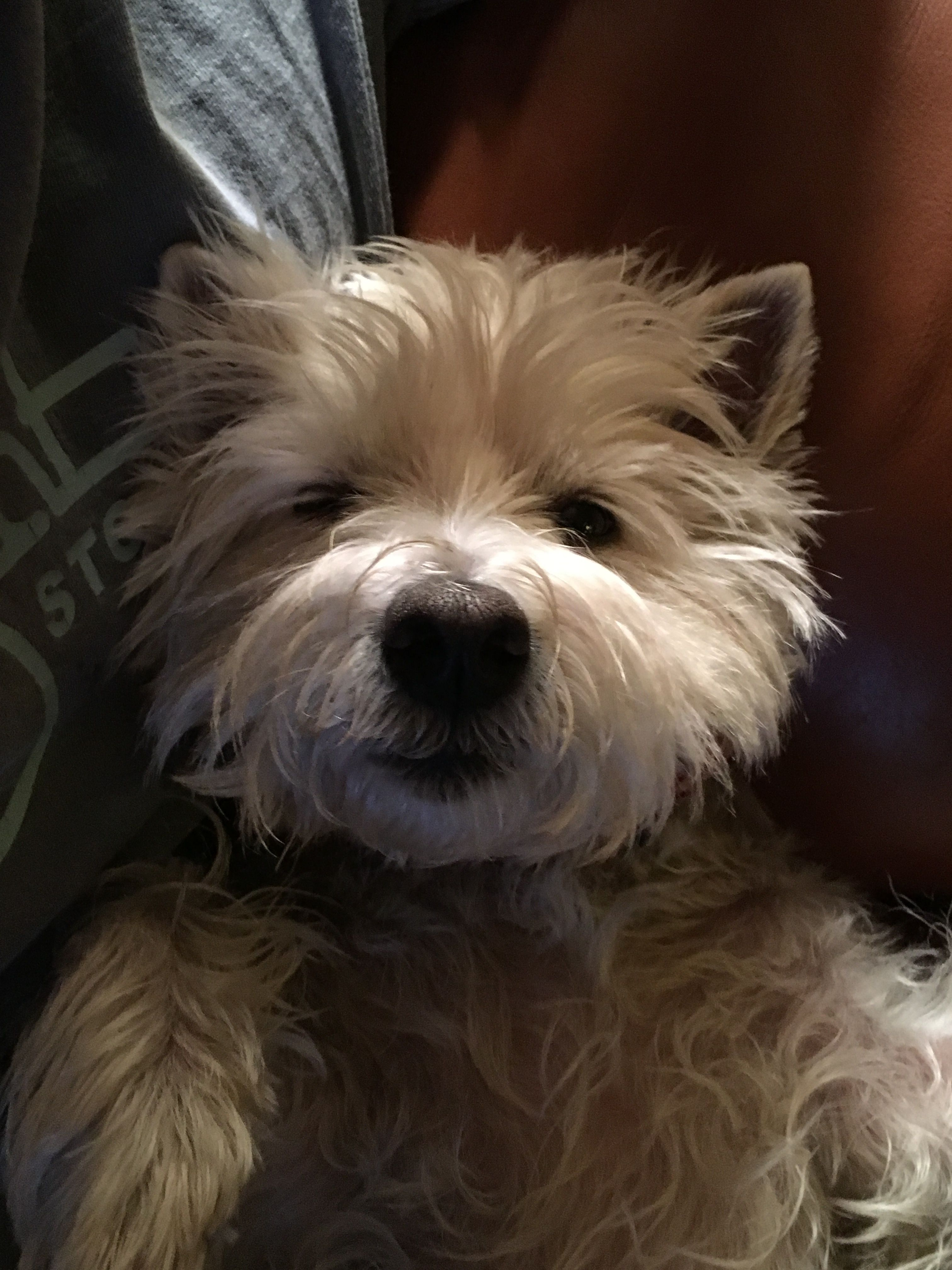 Westie Westie Dogs Tiny Dog Breeds Cairn Terrier
