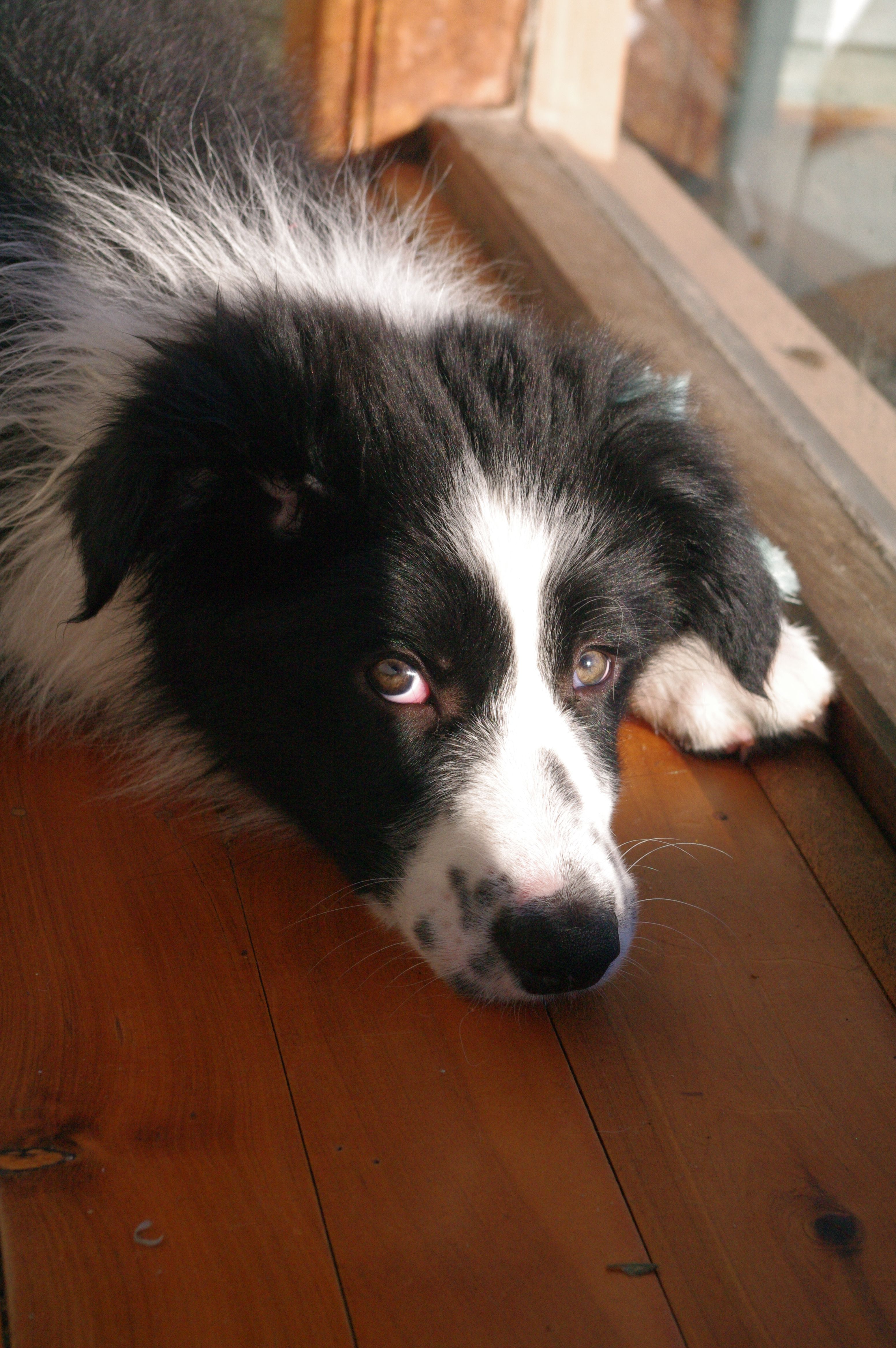 Sulking After A Bath Border Collie Collie Perros