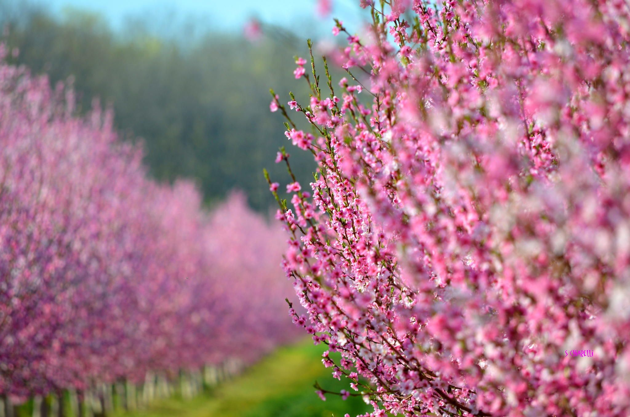 Orchard of Blossoms by Steve Chiarelli on 500px