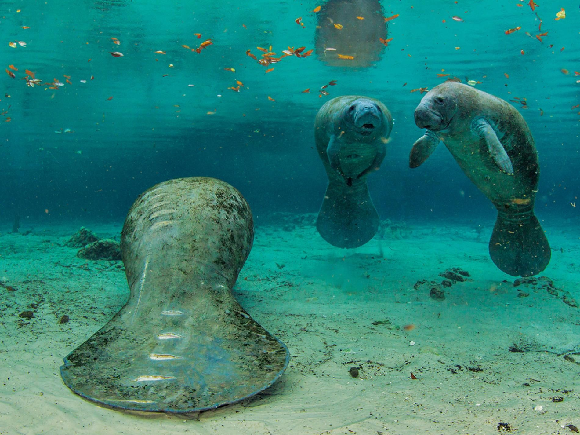 Manatee Picture Underwater Wallpaper National Geographic Photo Of The Day Manatee Pictures Manatee Manatee Florida
