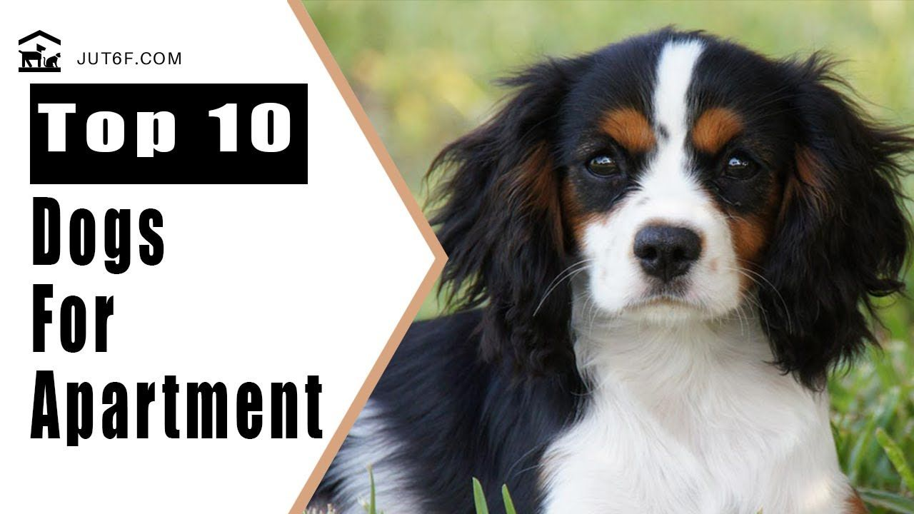 Best Apartment Dogs Top 10 Best Dog Breeds For Apartment Living Apartment Dogs Best Apartment Dogs Best Dog Breeds