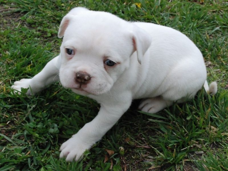 American Bulldog Can He Get Any Cuter American Bulldog Puppies American Bulldog White Pitbull Puppies