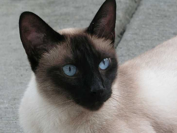 Image Detail For Seal Point Siamese Adult Siamese Cats Blue