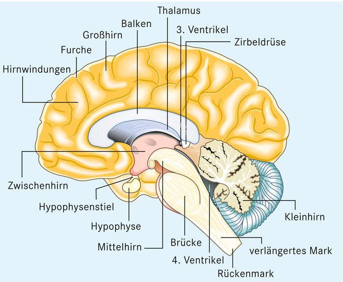 Gehirn 201100278120 Jpg 699 575 Pixel Gehirn Kleinhirn Hypophyse