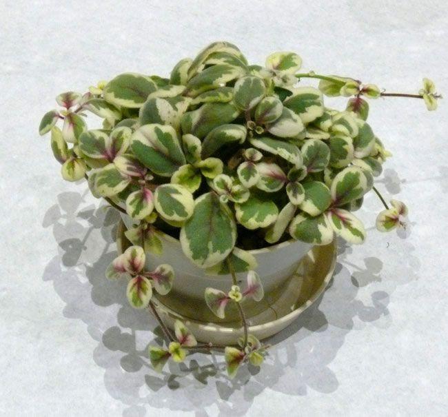 Alsobia Dianthiflora Variegated