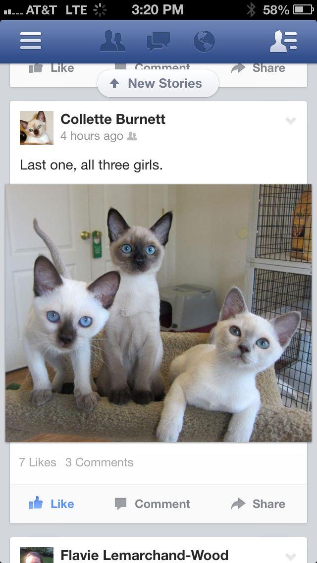 Tonkinese Kittens Tonkinese Cat Burmilla Cat Tonkinese Kittens
