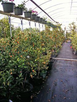 Ing Citrus Trees In Houston