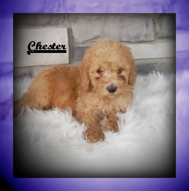 Chester Male Mini Goldendoodle 879 Goldendoodle Puppy For Sale