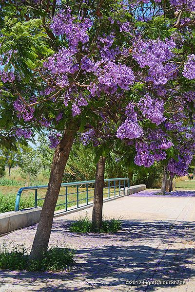 Purple Flowering Trees Flowering Purple Jacaranda Tree Close Up Flowering Trees Jacaranda Tree Tree