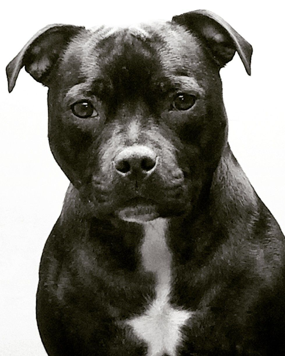 Staffordshire Bull Terrier Female Pitbull With Images