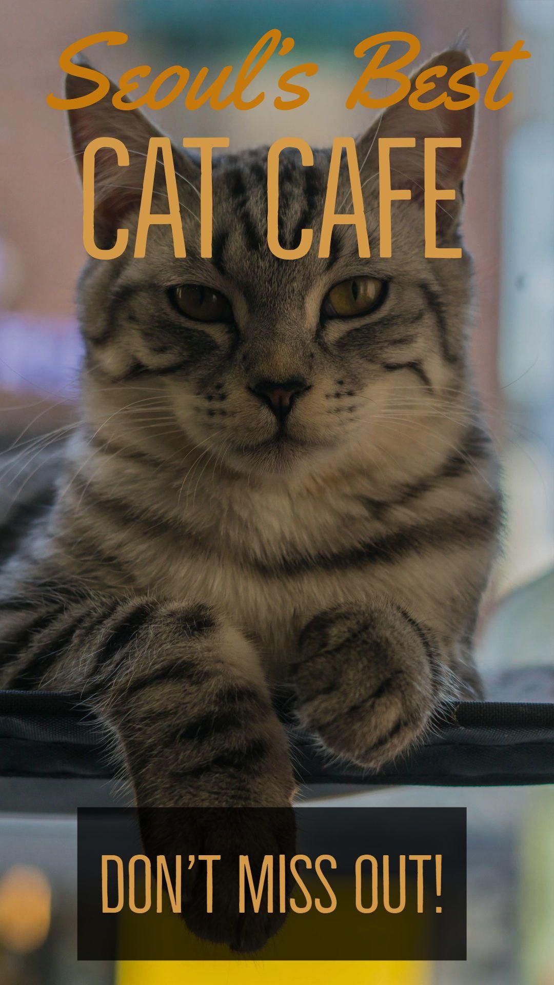 cat cafes - crazy cats | korea | pinterest | travel, seoul korea