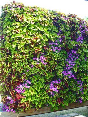 Фото цветок колеос 23