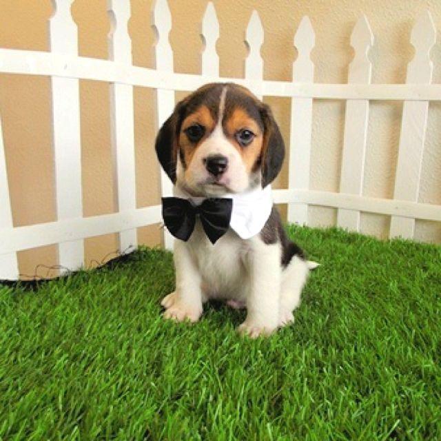 Adorable Beagle Puppy In A Bow Tie Beagle Puppy Beagle Dog Pocket Beagle Puppies