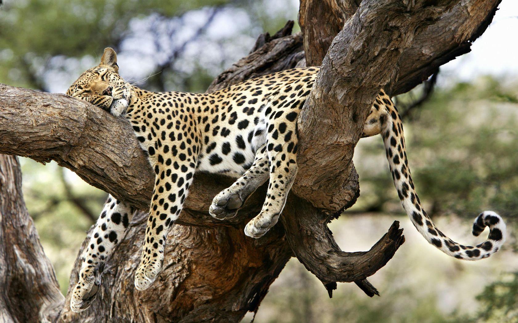 jaguar animal desktop wallpapers hd wallpapers inn