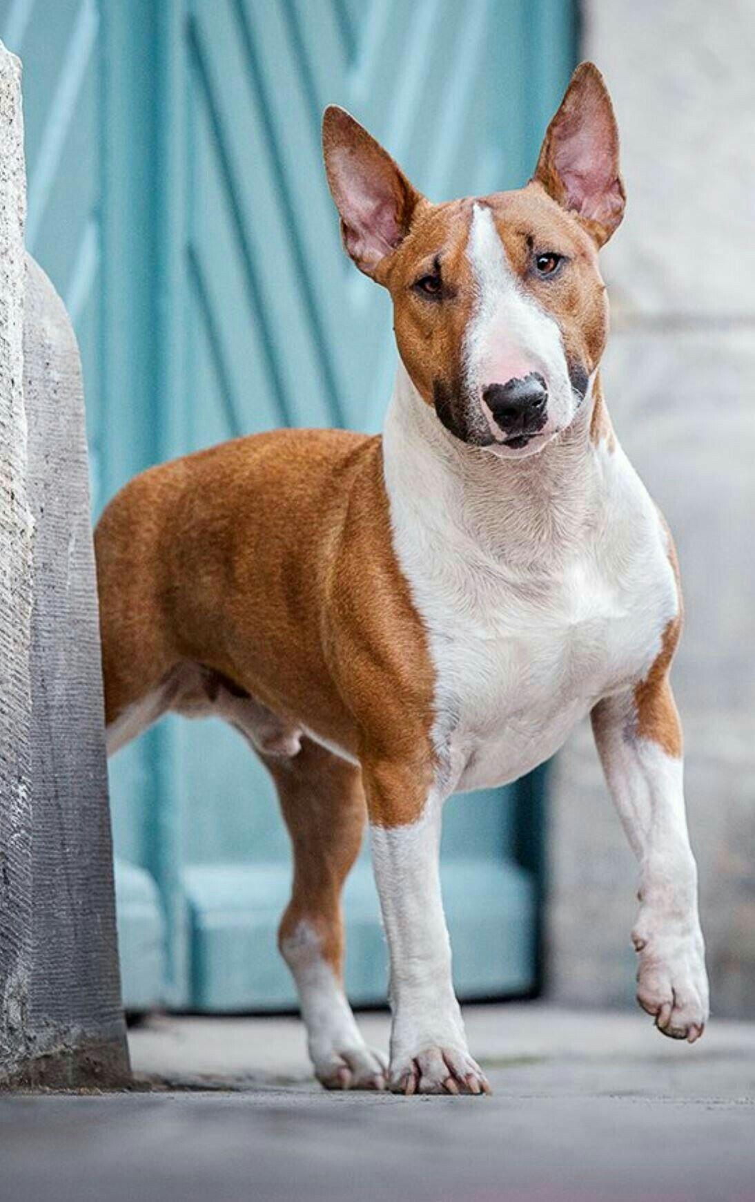Obeisant Dog Training Clicker Dogography Dogcostumesdarthvader English Bull Terriers Bull Terrier Mini Bull Terriers