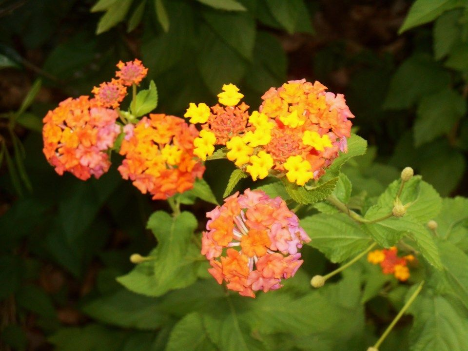 8 Doubts About Flower Of Love Poem You Should Clarify With Images Lantana Perennials Plants