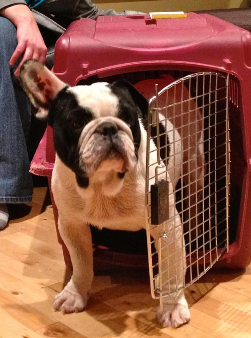 Adopt DUKE on French bulldog mix, Bulldog french and