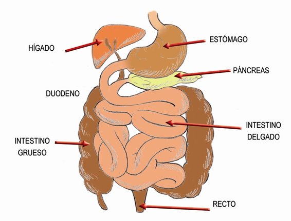 Intestino Delgado Y Grueso Intestinos Glándulas Exocrinas El Tubo Digestivo