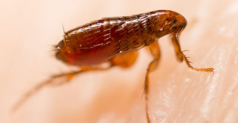 Does Steam Cleaning Kill Fleas And Their Eggs Steam Cleaning Steam Cleaners Fleas