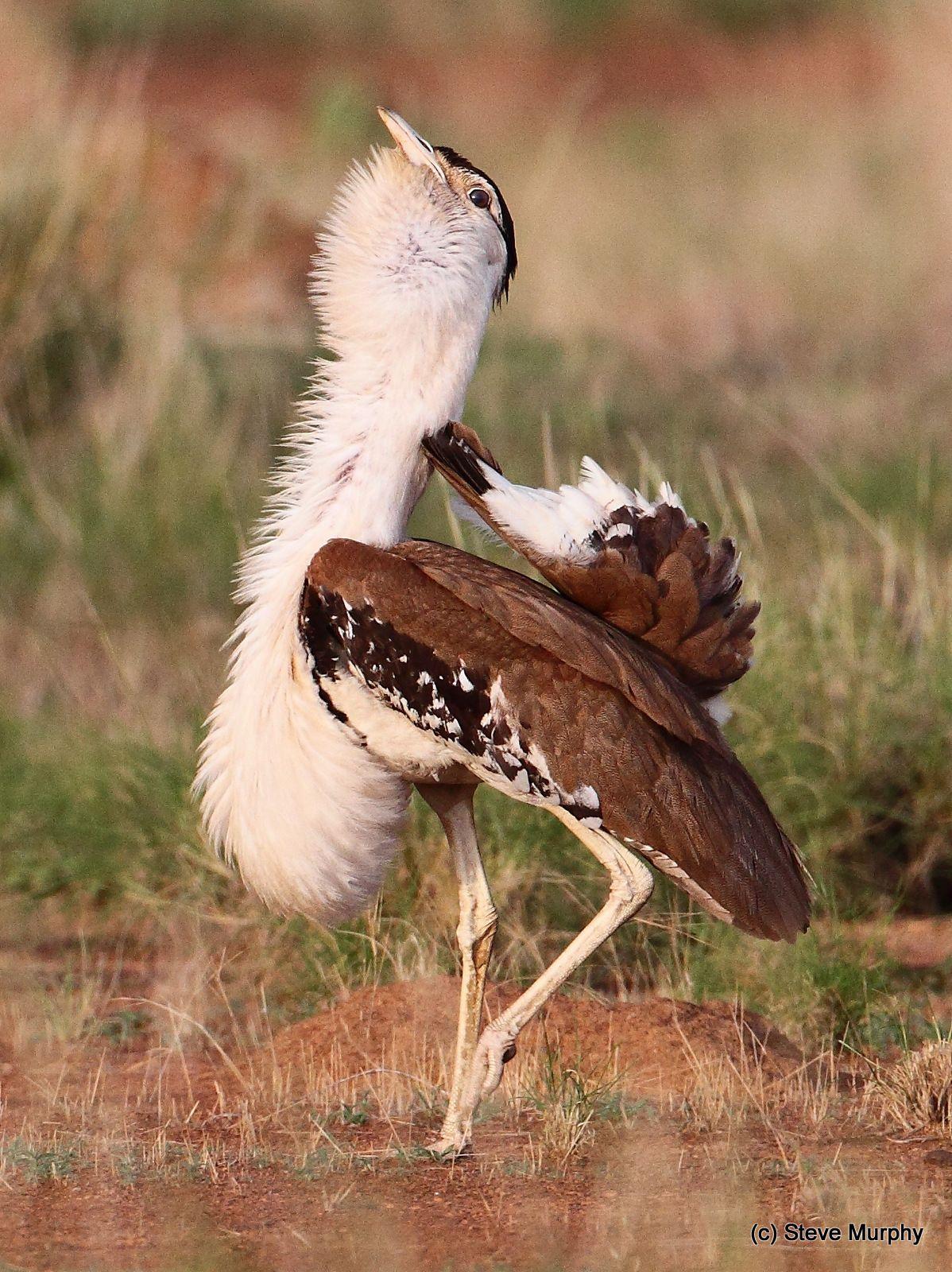Australian Bustard Ardeotis australis - Google Search