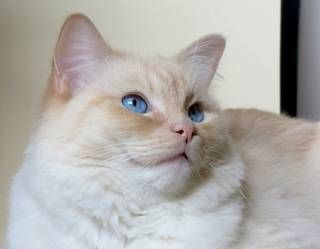 Vanillabelle Ragdolls Cattery Tica And Cfa Flame Lynx Mitted