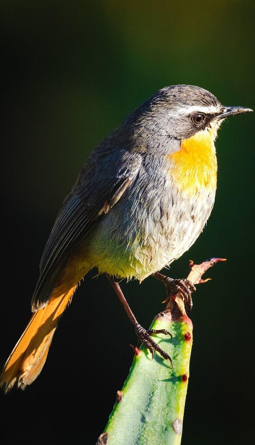 picture of a cape robin chat | birds | pinterest | vögel et