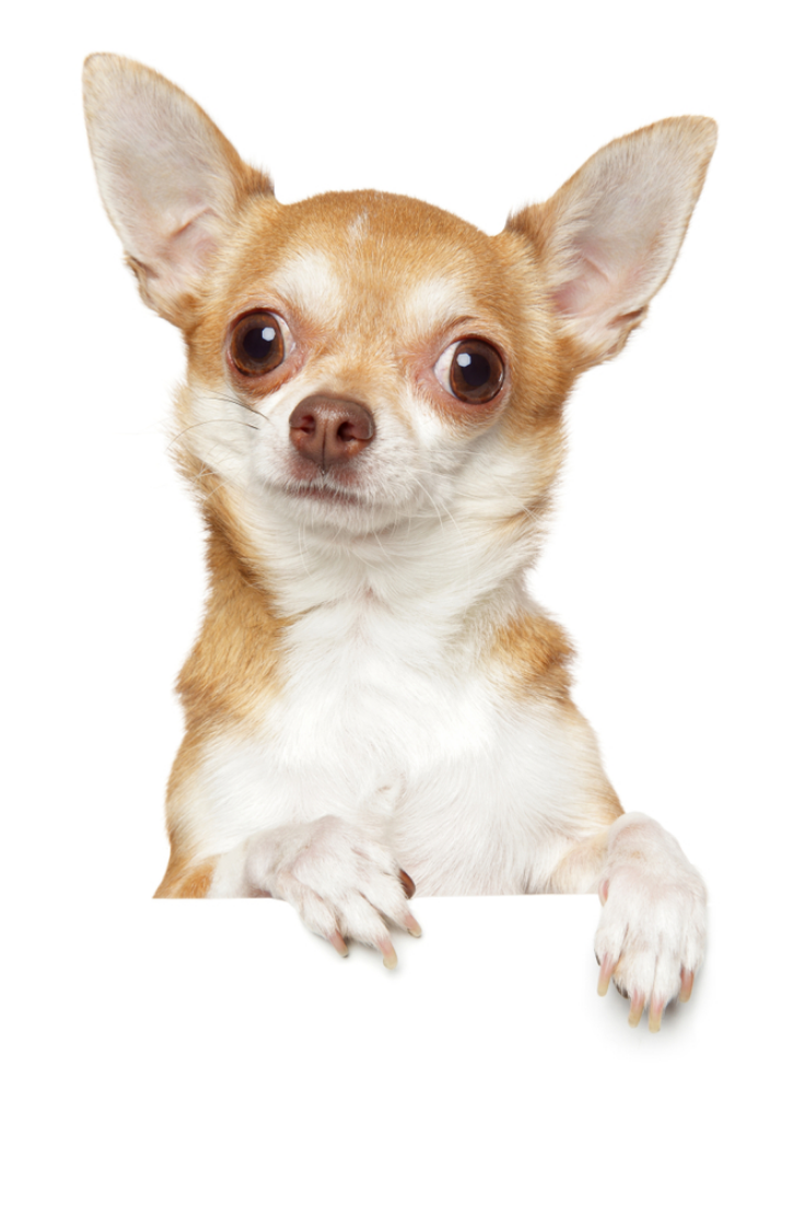 Chihuahua Dog Above Banner Isolated On White Background Animal Theme Chihuahua Dog Above Banner Isolated On W Cute Chihuahua Chihuahua Love Chihuahua Lover