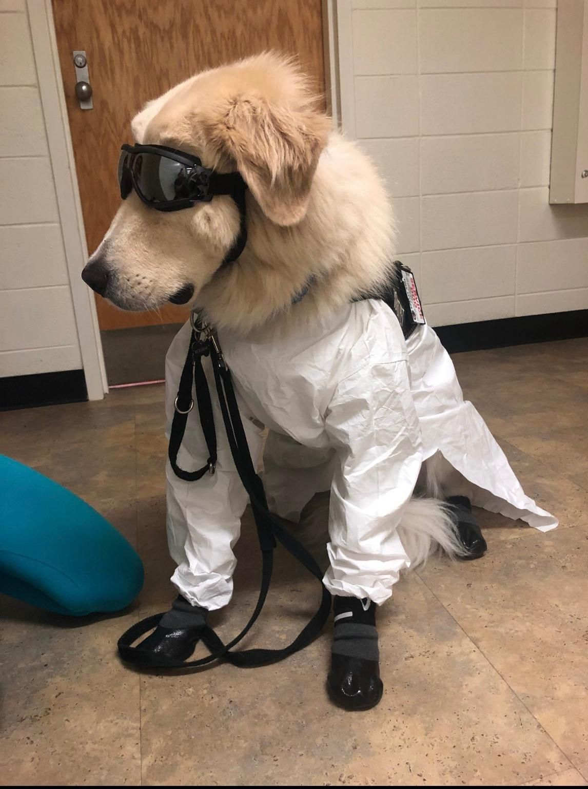 A service dog has to wear safety gear in a lab Music