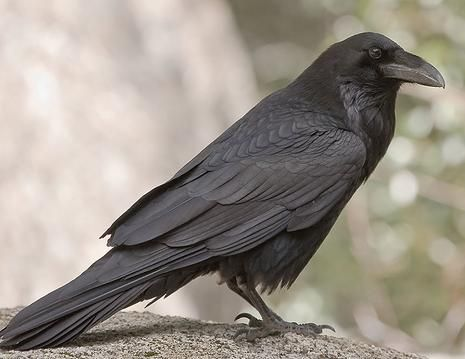 Many Native American tribes honor the raven for bringing light to mankind, there are also many stories of them being tricksters, and seekers of truth.