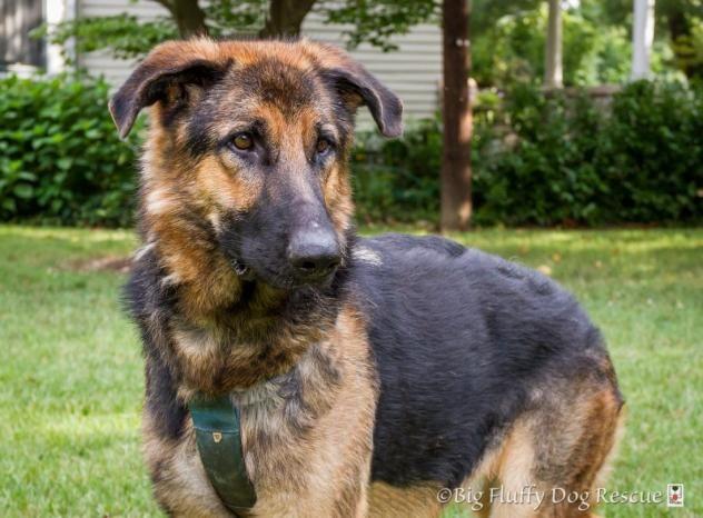 Adopt Casey Lu On Big Fluffy Dog Rescue Big Fluffy Dogs German