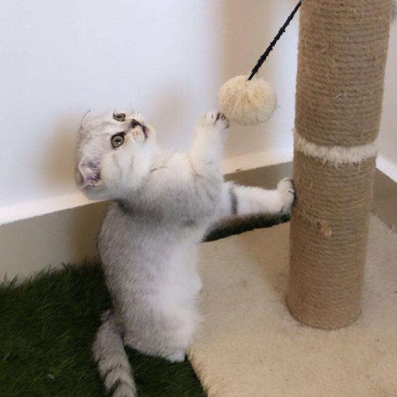 ماشاءالله تبارك الله من انتاجنا سكوتش فولد بيور من ام واب وارد من إسكتلندا 8 Animals Lamb