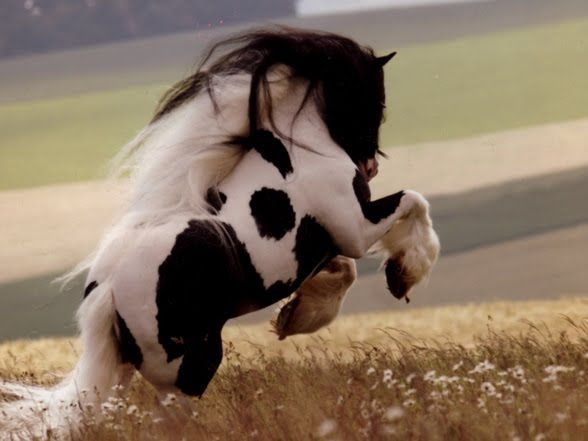 Gypsy vanner horse. I want one.